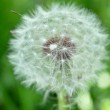 White Dandelion in Green Field — Stock Photo #5720386