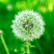 White Dandelion in Green Field — Stock Photo #5720389