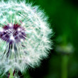 Stock Photo: White Dandelion in Green Field