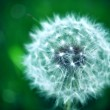 White Dandelion in Green Field — Stock Photo #5720398