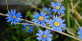 Blue Hepatica Macro — Stock Photo