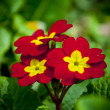 Red and yellow velvet flowers - Stock Photo