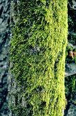 Green algae texture on a tree body — Stock Photo