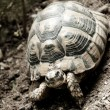 Land Turtle — Foto de Stock