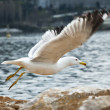 Seagull taking off - Foto de Stock