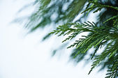 Green Cypress Leaves Background — Stock Photo