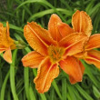 Orange lily blossom — Stock Photo