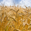 Yellow wheat in cloud blue sky background — Stock Photo