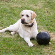 Dog Labrador with black ball — Stock Photo