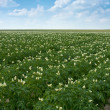 Agricultural field of potato — Stock Photo