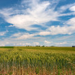Wheat field under blue sky — Stock Photo #5718921