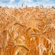 Ears of wheat in field — Stock Photo