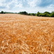 Wheat field — Stock Photo #5718973