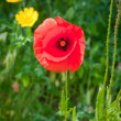 Red poppy in meadow — Stock Photo
