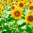 Sunflower field — Stock Photo #5719087