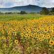Stock Photo: Field of sunflower with mountains background