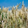 Wheat ears close up in field — Stock Photo #5719153