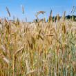 Rye ears close up in field — Stock Photo #5719154