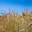 Rye ears close up in field — Stock Photo