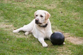 Dog Labrador with black ball — Stock Photo