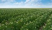 Sector agrícola de la patata — Foto de Stock