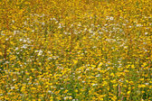 Flower greenland — Stock Photo
