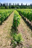 Vineyard in Val de Loire — Stock Photo