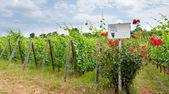 Alsace bağ — Stok fotoğraf