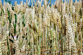 Wheat ears close up in field — Stock Photo