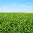 Green lucerne field blue sky — Stock Photo