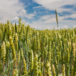 Ear of wheat rise above field under blue sky — Stock Photo