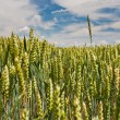 Ear of wheat rise above field under blue sky - Stock Photo