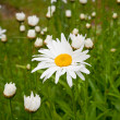 Ox-eye daisy after rain — Stock Photo