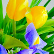 Blue iris and yellow tulips — Stock Photo