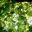 Sunshade from leafs of vine — Stock Photo