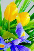 Blue iris and yellow tulips — Stock Photo