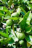 Mandarinas verdes sin madurar — Foto de Stock