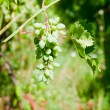 Bunch of white grapes — Stock Photo #6279544