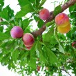 Several ripe plumps on green branch — Stock Photo #6279603