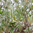 Green olive tree with olives - Stock Photo