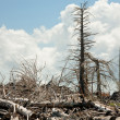 Stock Photo: Breakage dead pines