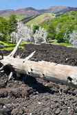 Burned tree in lava flow on green slope of Etna — Stock Photo