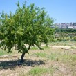 Peach tree in Sicily — Stock Photo #6630438