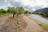 Olive garden and vineyard — Stock Photo