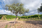 Olive garden and vineyard on gentle slope in Etna region, Sicily — Stock Photo