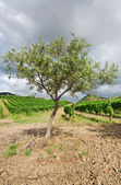 Olive tree and vineyard on gentle slope in Etna region, Sicily — Stock Photo