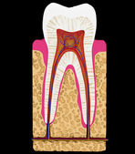 Dental medicine: Tooth cut or section isolated — Foto de Stock