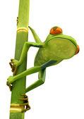 Tree frog on bamboo bole isolated — Stock Photo