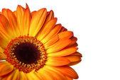 Gerber bloem op een witte achtergrond — Stockfoto