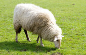 Sheep grazing in the countryside — Stockfoto